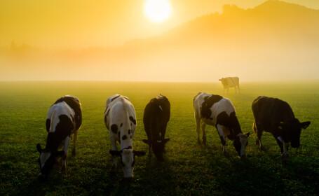 Turcia returneaza Olandei 40 de vaci Holstein, in semn de protest fata de guvernul acestei tari