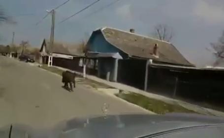 Imaginile surprinse de un sofer intr-un sat din Arad. Un mistret alearga nestingherit pe strada