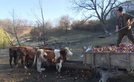 Merele romanesti, hrana pentru animale din cauza fructelor de import. Cum sunt afectati fermierii de sanctiunile rusesti