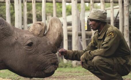 rinocer, alb, mascul, sudan, kenya,