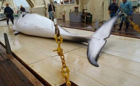 O flotă japoneză s-a întors din Oceanul Antarctic cu o captură de 333 de balene