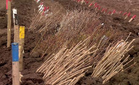 Perdele forestiere, plantate de Romsilva