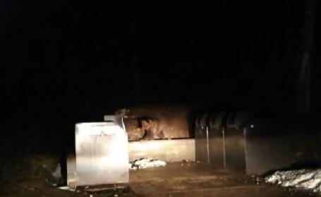 Pui de urs, blocat într-un tomberon, la Băile Tușnad