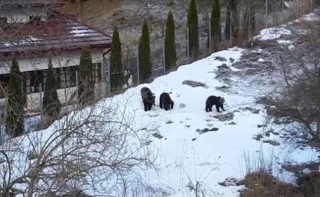 ursi in Predeal