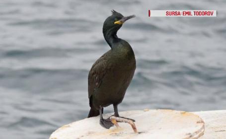 Cum arată cormoranul moțat, specia care a migrat în România. Le dă bătăi de cap pescarilor