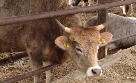Vacile
