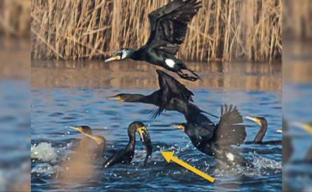 Cormoranii distrug producția de pește, în România. Consumă 20.000 de tone pe an