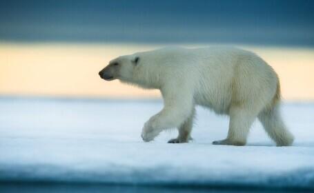 Un bărbat a supravieţuit atacului unui urs polar la nord de coastele Norvegiei