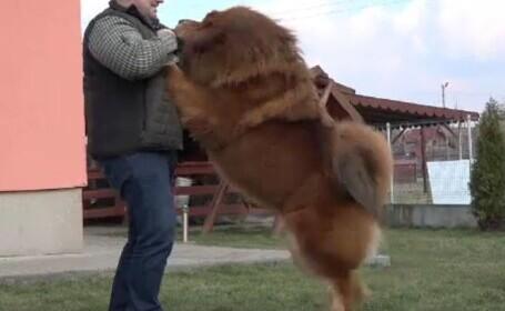 Boss, câinele mastiff din Târgu Mureș care a câștigat 360 de premii internaționale. Are propriul lui șofer