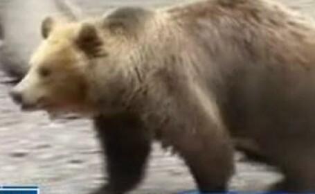 Ursoaica \