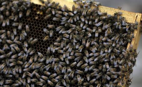 Doi copii din judetul Bacau, la un pas de moarte din cauza unor albine