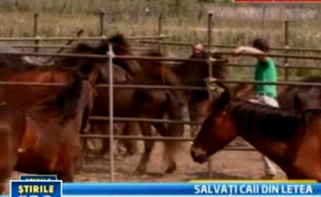 Explicatii halucinante pentru torturile cailor din Letea: ar fi venit raniti din salbaticie