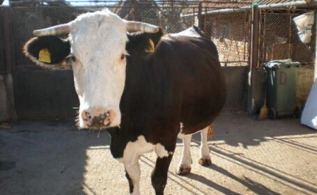 vaca baltata