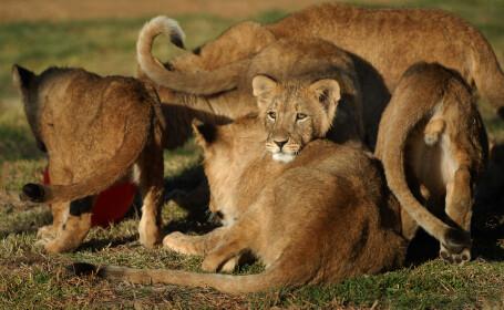Atacul unui leu i-a salvat viata. Ce a descoperit o femeie dupa ce a fost muscata
