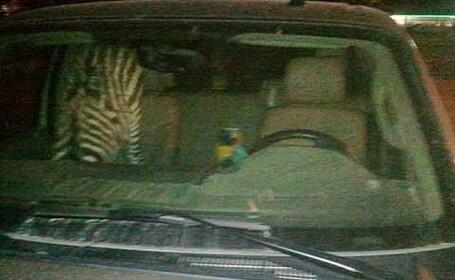 zebra macau arestare