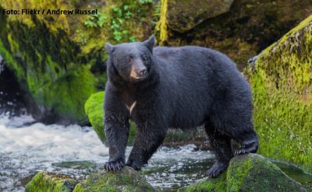 urs negru din Statele Unite