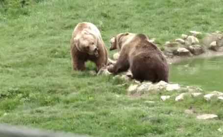 Rezervatia de ursi de la Zarnesti, construita pentru a salva animalele, devine atractie turistica. Orice vizita e o aventura