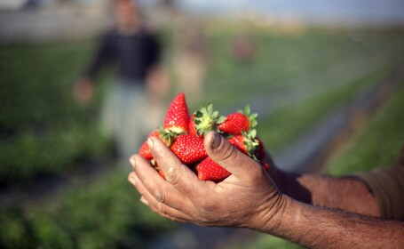 Ambitia agricultorilor romani de a face capsunari din italieni si spanioli. Productia record din 2014, o lovitura financiara