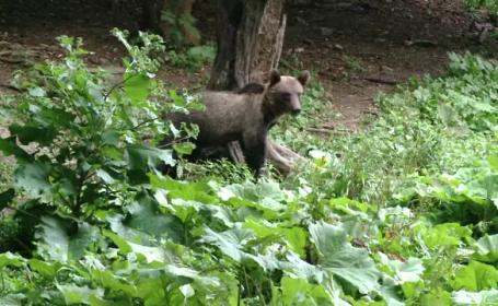 Un barbat din Azuga a fost muscat de urs, in timp ce facea jogging in padurea de langa \