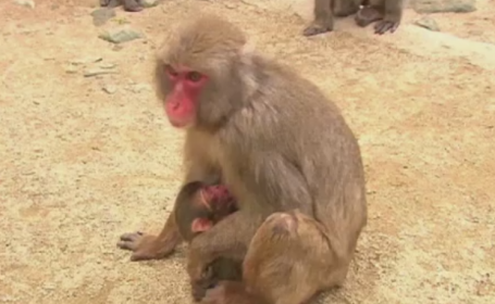 maimuta - stiri