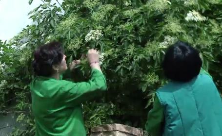 Romania a devenit furnizorul principal de plante medicinale in Europa si America. Planta care se vinde si cu 40 de euro/kg