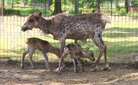 Primii pui de ren nascuti in captivitate, la Gradina Zoologica din Ploiesti. Copiii pot propune nume, pana pe 1 iunie