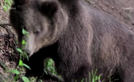 Un urs a aparut de doua ori intr-o saptamana in centrul Brasovului. De ce nu reusesc autoritatile sa il opreasca