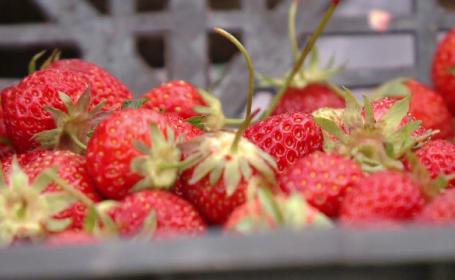 Criză de culegători de căpșuni în plin sezon. Salariul unui muncitor în străinătate
