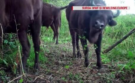 Munţii din România care vor fi repopulaţi cu zimbri. Sunt doar 7.000 în toată Europa