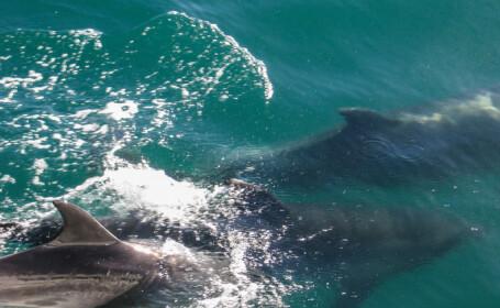 Peste 120 de balene gestante, ucise în \