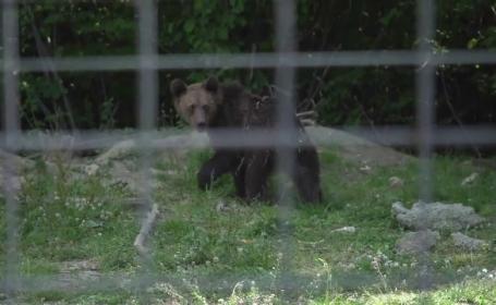 Ursul Costel ar putea avea soarta lui Șoni, dacă turiștii îi vor da mâncare
