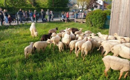 Motivul pentru care 15 oi au fost înscrise la școală, în Franța