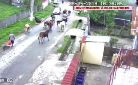 """Dosar penal în Dâmbovița, după ce 3 vaci au fost electrocutate. """"A început să tremure"""""""