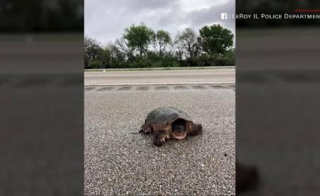 Circulația pe o autostradă din SUA, blocată de o țestoasă gigant. Soluția găsită de polițiști