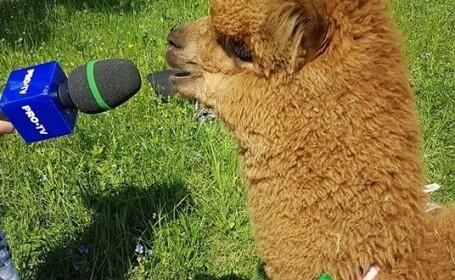 Alpaca lui Marian Godină are o nouă înfățișare. Ce a pățit simpaticul animal - 9