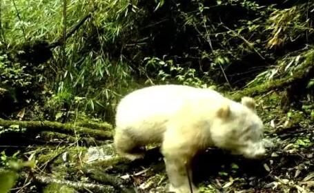 urs panda albinos