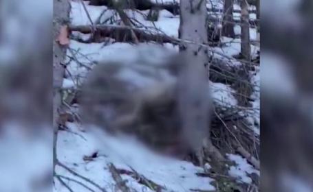 Anchetă în Suceava. Un video cu doi cerbi în agonie, împușcați de braconieri, a ajuns în mediul online