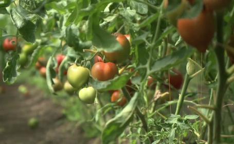 Tot mai mulți români vor bani de la Guvern ca să cultive roșii. Programul Tomata, plin de fraude