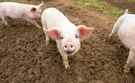 """S-a născut un porc cu două capete, semnul care ar fi """"de bun augur"""" în pandemia de coronavirus. Cum arată creatura"""