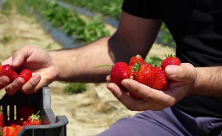 Căpșunile românești sunt mai bune, dar suferă din cauza concurenței neloiale. Cât costă