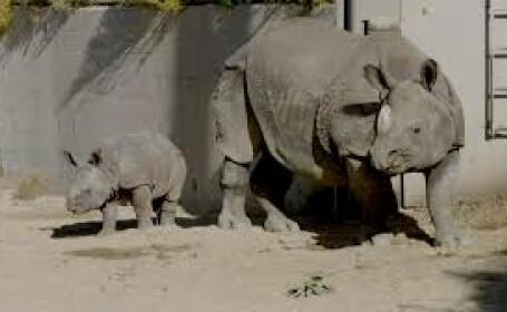 pui rinocer san diego zoo