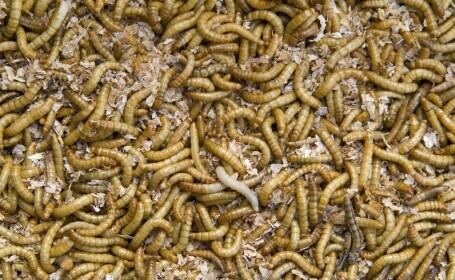 """Comisia Europeană a autorizat, în premieră, o insectă ca aliment: """"Se poate consuma ca gustare"""""""