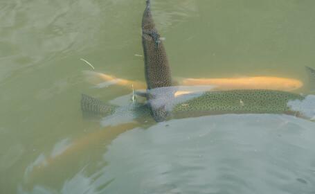 """Toți peștii de la 2 păstrăvării din Neamț au murit în câteva minute. """"Apa s-a albit. Săreau de parcă îi curenta cineva"""""""
