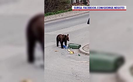 Un urs a fost filmat în timp ce smulge un coș de gunoi, pe o stradă din Sinaia. VIDEO