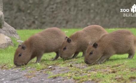 pui capibara