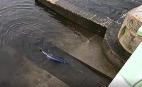 O balenă de mici dimensiuni a rămas blocată în râul Tamisa