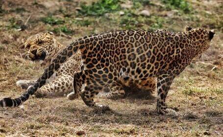 VIDEO. Trei leoparzi au scăpat de la o grădină zoologică din China, iar unul e încă liber