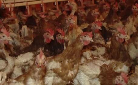 Gripa aviară a dus la interzicerea vânzării păsărilor vii pentru o lună. Care sunt excepțiile