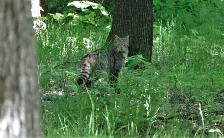 Toată lumea ar crede că e o pisică obișnuită. Ce este, de fapt, animalul surprins într-o pădure din Vaslui