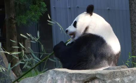 S-a redeschis Grădina Zoo din Washington. Familia de panda așteaptă vizitatori
